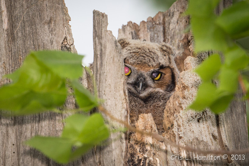 Great Horned Owl chick-0278