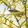Tennessee Warbler_9204