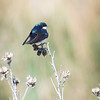 Tree Swallow_0925
