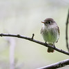 Least Flycatcher_9450