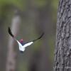 Red-headed Woodpecker Flight_0572