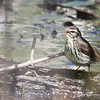 Northern Waterthrush_1130