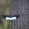 Red-headed Woodpecker Flight_0575