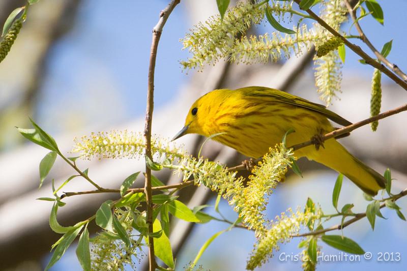 Yellow Warbler_9133