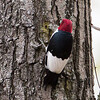 Red-headed Woodpecker_0581