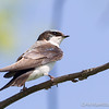 Tree Swallow - May2012-2543