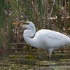 Great Egret - May2012-6181
