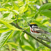 Chestnut-Sided - May2012-6335