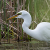 Great Egret - May2012-6175