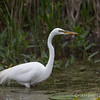 Great Egret - May2012-6231