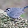 Catbird-5641