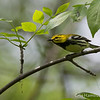 Black-Throated Green - May2012-6400
