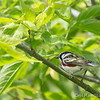 Chestnut-Sided - May2012-6334