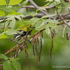 Black-Throated Green - May2012-6392