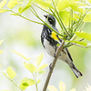 Yellow-Rumped - May2012-6515