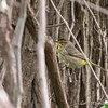 Palm Warbler - May2012-6557