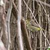 Palm Warbler - May2012-6557