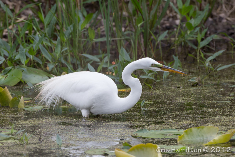 Great Egret - May2012-6223