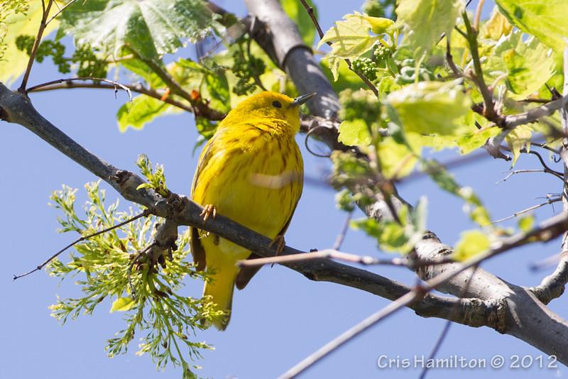 Yellow Warbler - May2012-2554