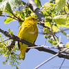 Yellow Warbler - May2012-2554
