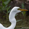 Great Egret - May2012-6241