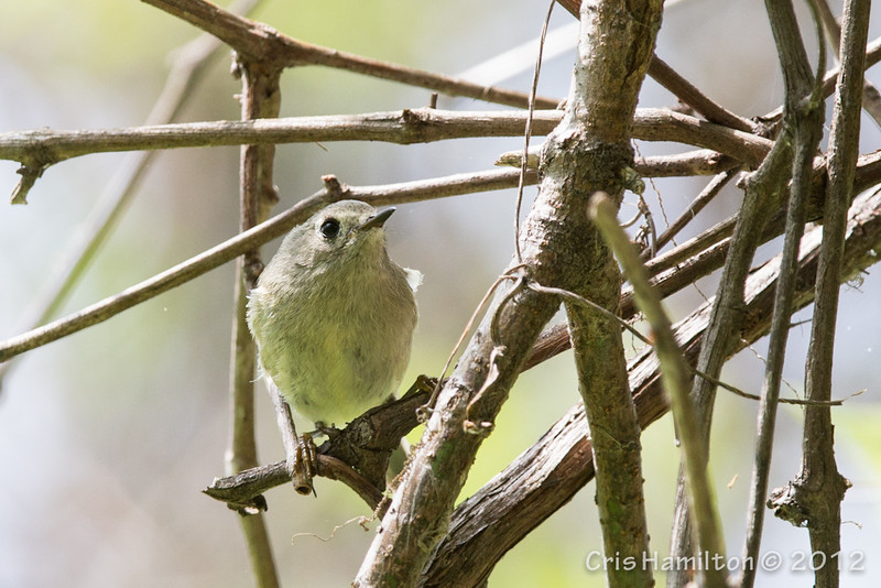 Ruby-Crowned Kinglet - May2012-6419
