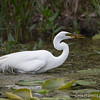 Great Egret - May2012-6240