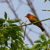 Summer Tanager 1st Spring Male - May2012-6267