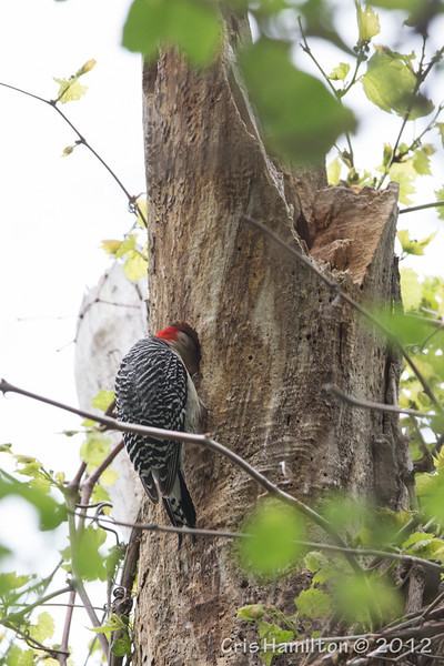 Red-bellied Woodpecker - May2012-6490