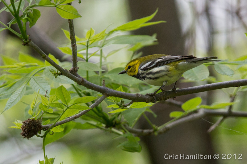 Black-Throated Green - May2012-6396