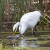 Great Egret - May2012-6177