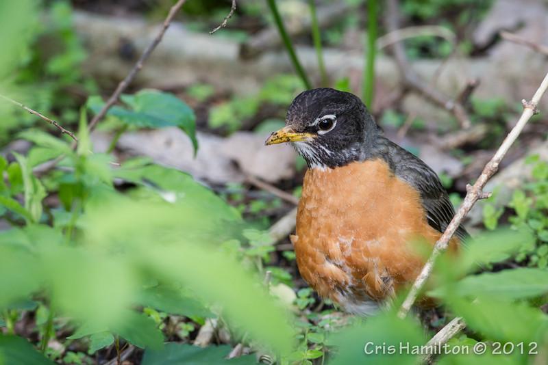 Robin - May2012-2383