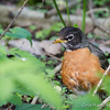 Robin - May2012-2383