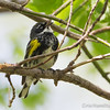 Yellow-Rumped - May2012-2497