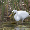 Great Egret - May2012-6178