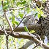 Screech Owl - May2012-2459