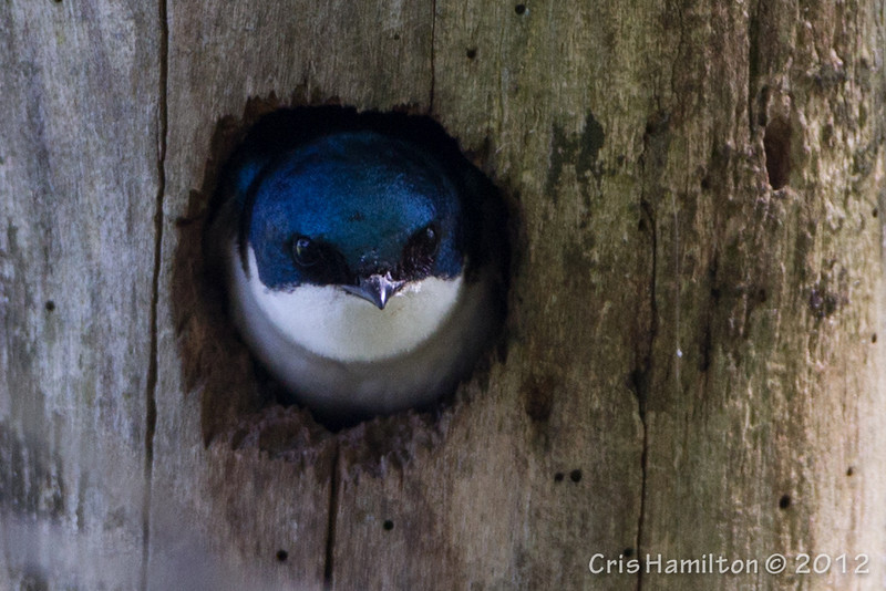 Tree Swallow - May2012-2521