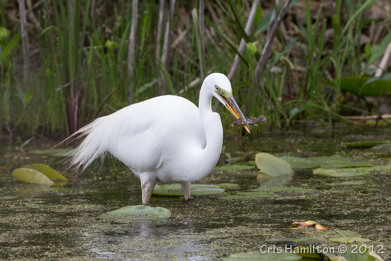 Great Egret - May2012-6192