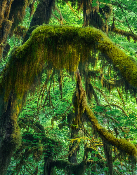 MOSS COVERED OLD GROWTH MAPLE TREE