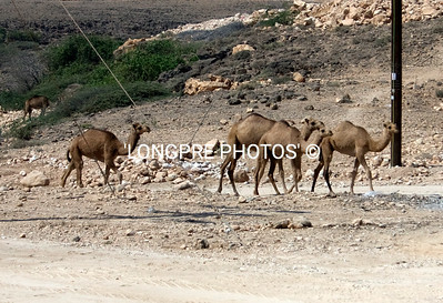 Herd of CAMELS along highway.  Oman