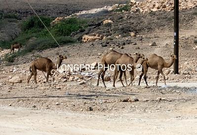 Herd of CAMELS along highway.  Oman