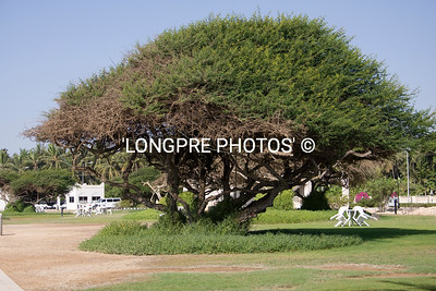 FRANKENSENCE tree,  Salalah, Oman