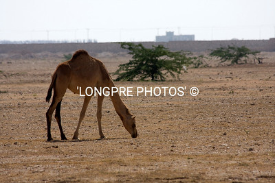 CAMEL just wandering along side of highway.  Oman