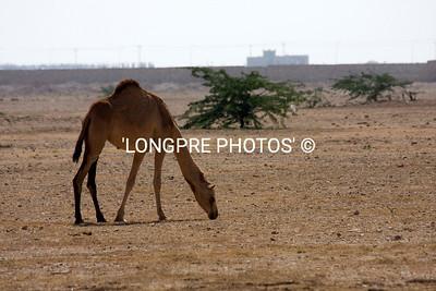 CAMEL just wandering along side of highway.  Oman