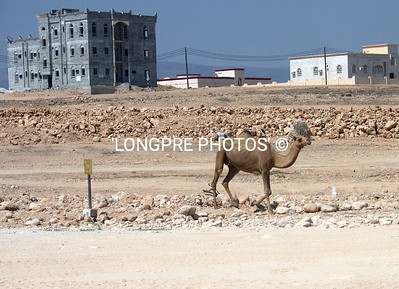 Camel wondering along, typical buildings in Oman.