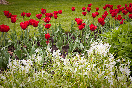 MORE TULIPS IN NIAGARA