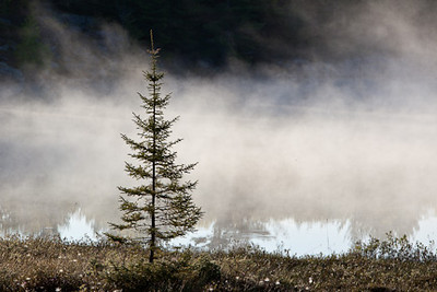 """SOLITUDE"" - A LONE SPRUCE ON  FOGGY LAKE MUSKOKA"
