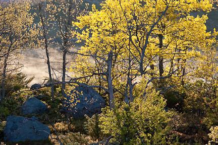 BACKLIGHTED TREES WITH MUSKOKA FOG