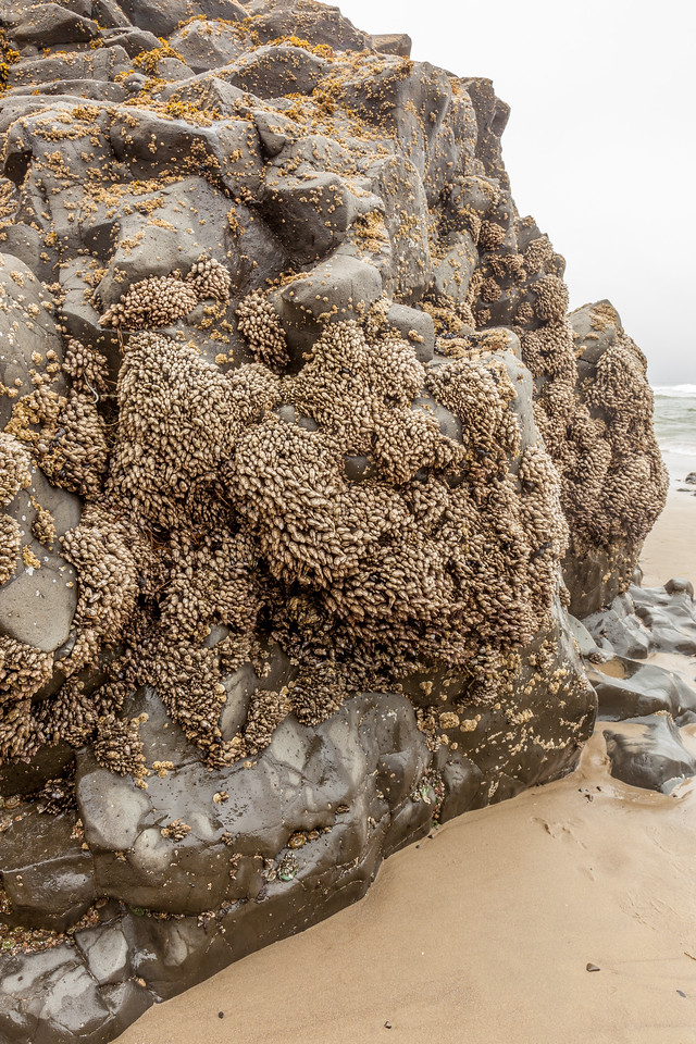 ROCK COVERED WITH BARNACLES