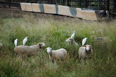 Birds on sheep